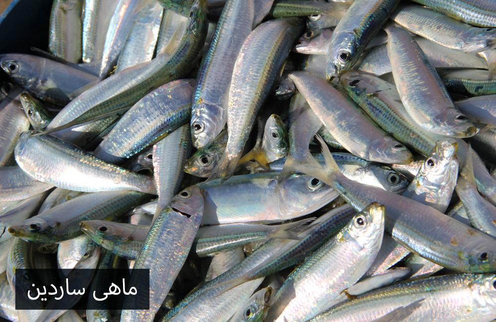 ماهی ساردین سفید